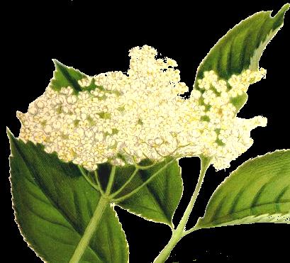 Holunderblüten Likör